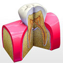Tooth Anatomy Mac版